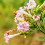 Nicotiana tabacum – Tobacco Medicinal Uses, Research