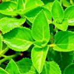 Country borage (Parnayavani) Uses, Research, Remedies, Side Effects