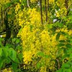 Aragwadh: Purging Cassia Home Remedies: Jaundice, Worms, Itching