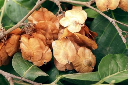 Chirabilva- Holoptelea integrifolia, Uses, Research, Remedies, Side