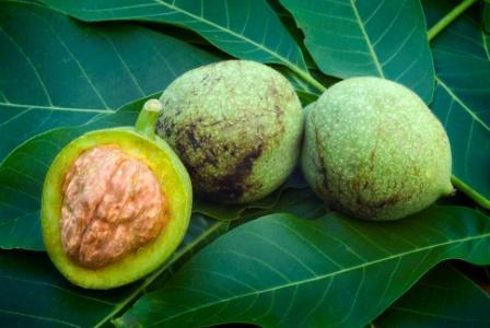 Walnut – Juglans regia Uses, Research, Remedies | Easy Ayurveda