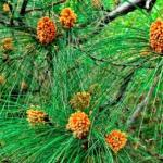 Sarala: Chir Pine: Uses, Research articles and Medicines