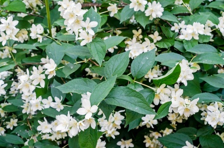 Jasmine - Chameli: Benefits, Remedies, Research, Side Effects, Remedies