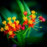 Tropical Milkweed (Asclepias curassavica) Remedies: Poisoning, Bleeding Wounds