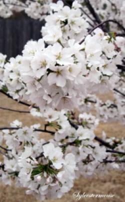 Yoshino Cherry Tree Blooms