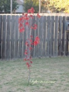 Young Red Maple Tree