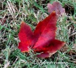 Red Maple Leaf Photo by Sylvestermouse