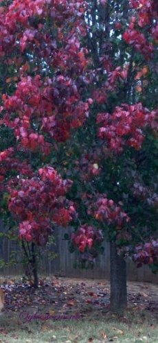 Flowering Pear Tree in the Fall Photo