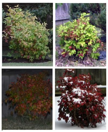 Nandina Bush for All Seaons