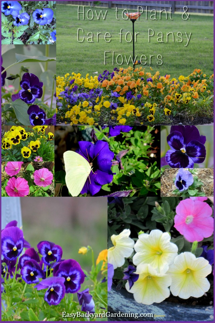 How to Grow & Care for Pansy Flowers