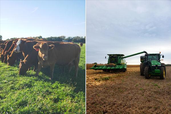 Cows on Iowa Beef Farm
