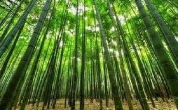 timber-bamboo tree