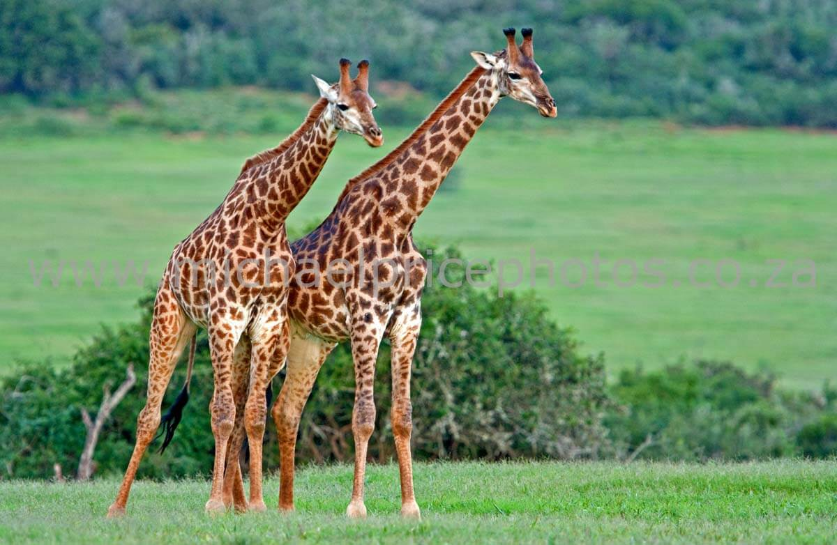 All About Giraffes For Kids Archives