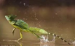 Image result for basilisk lizard