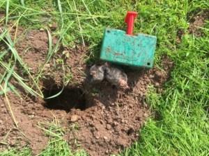 mole caught by trap