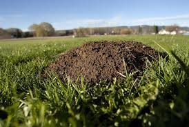 How the mole in your garden can forecast the weather