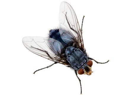 La mouche de maison
