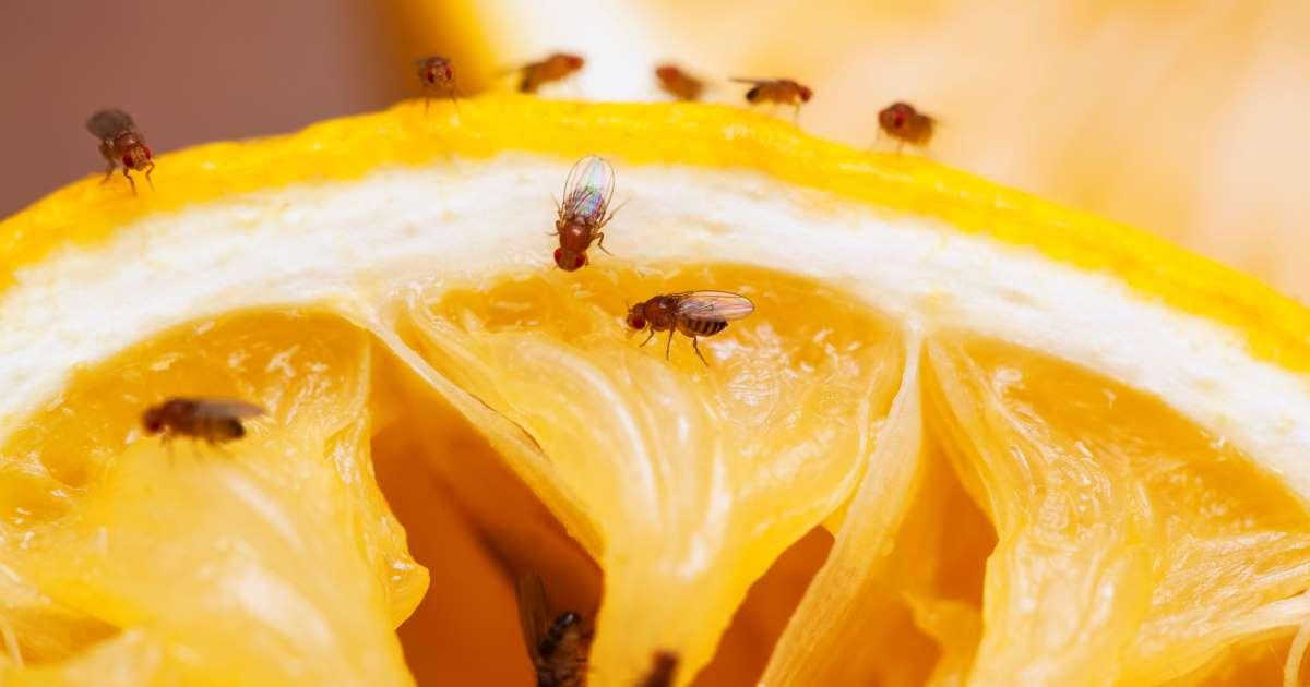 La mouche a fruit