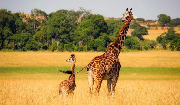 safari mal d'africa