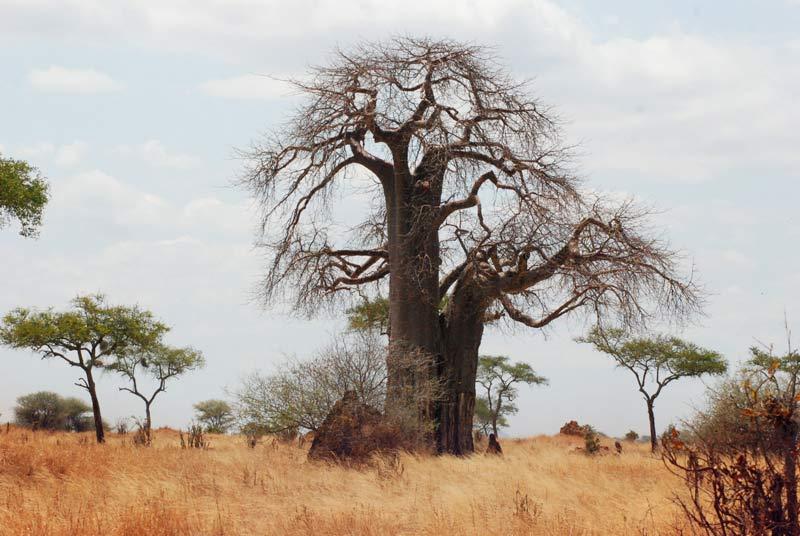 Tarangire-National-Park_baobab