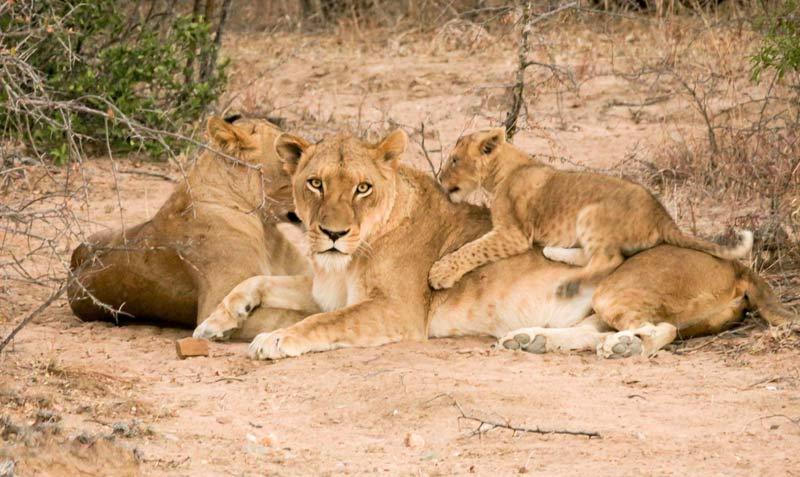 famiglia-leoni-safari