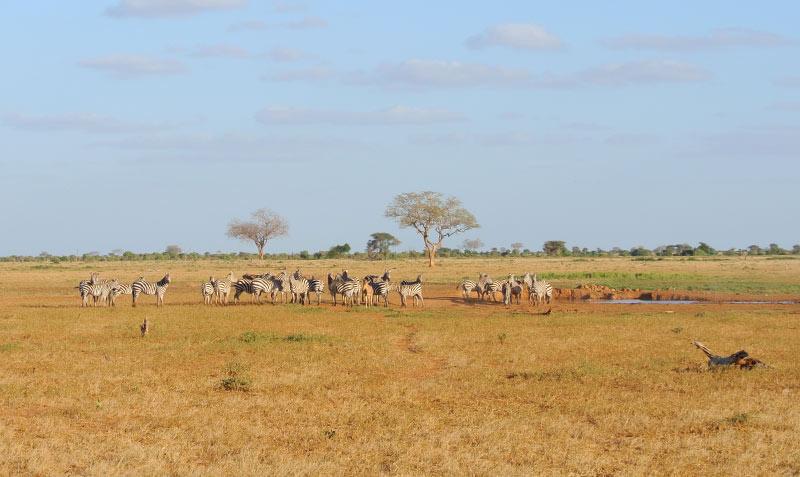 zebre-safari-tanzania