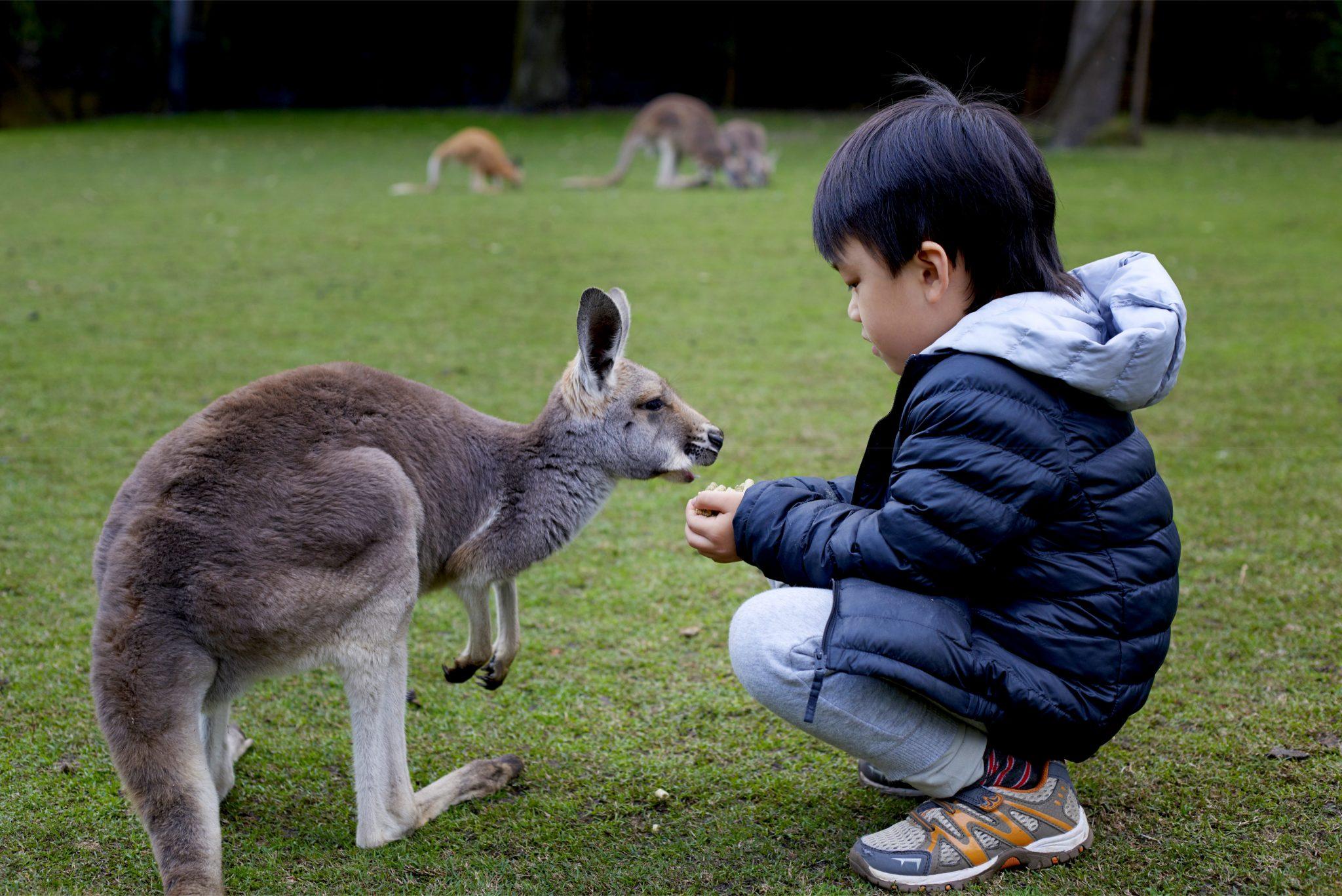 カンガルーに子どもが餌をあげている