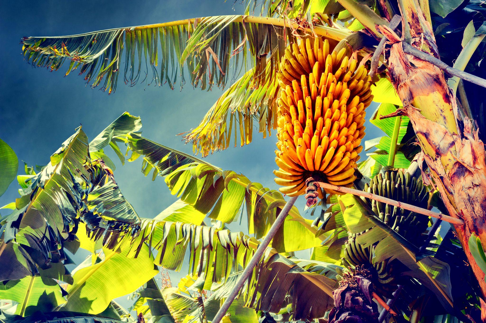 まだ収穫されていないバナナ