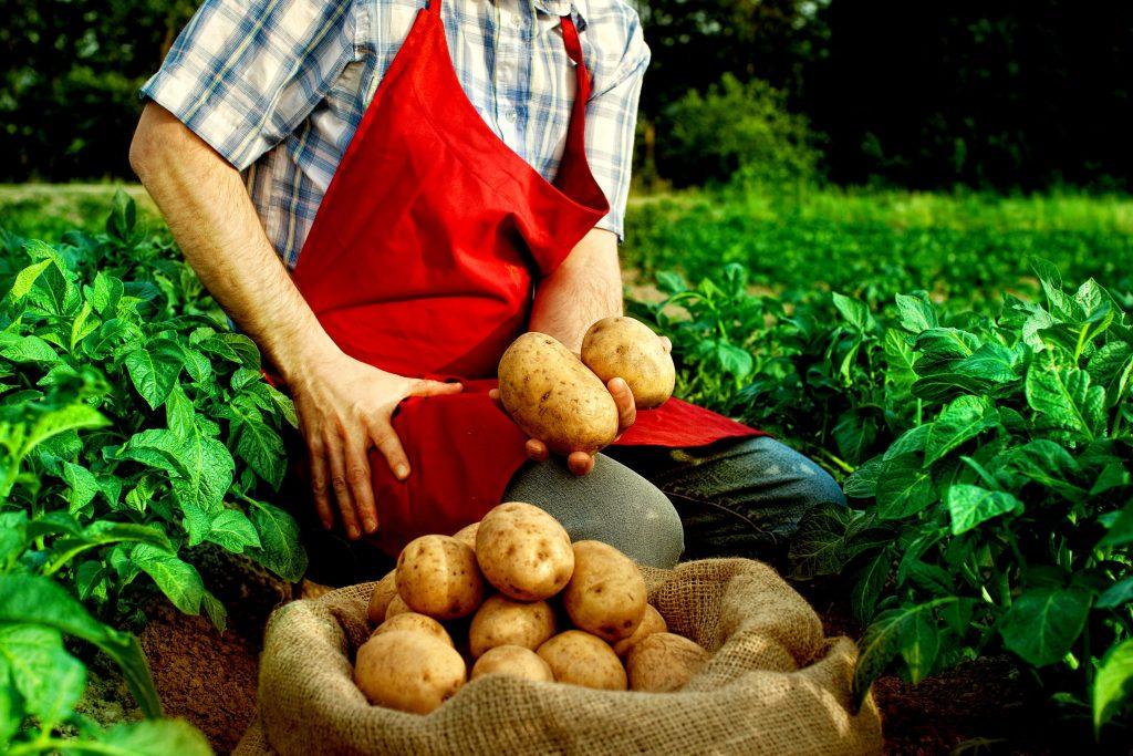 ジャガイモの収穫をしている農家の人