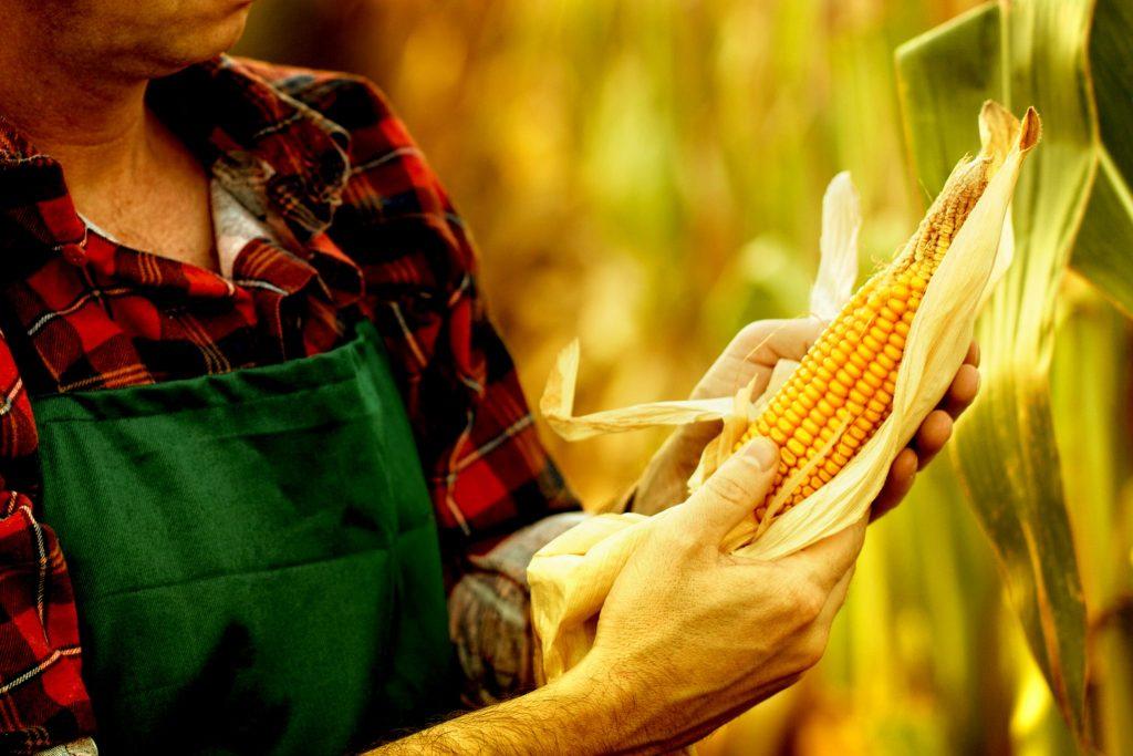 とうもろこし畑でとうもろこしの品質をチェックしている農家の男性