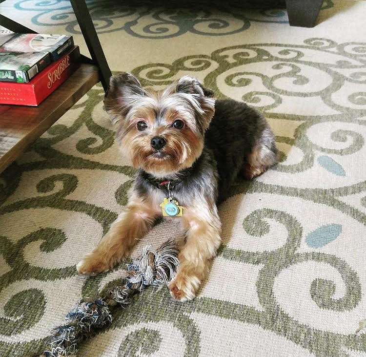 Yorkshire terrier with a rope