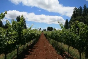 The vineyards at Summit Lake on Howell Mountain