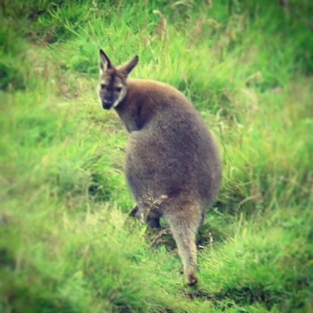Wallabies on Lambay Island