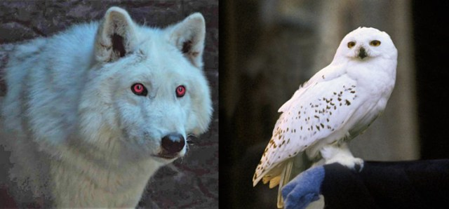 Game of Thrones e Harry Potter a confronto: Ghost e Edvige
