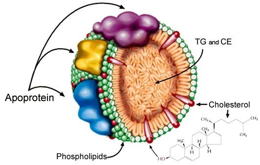 脂蛋白(lipoprotein) 運送TG(三酸甘油脂), CE (酯化膽固醇), Cholesterol(膽固醇)