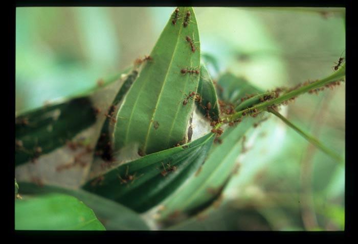 Ant_eggs_nest_open