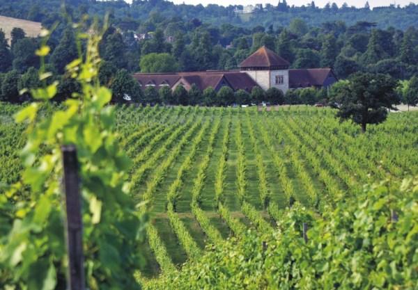 Denbies  vineyard full shot