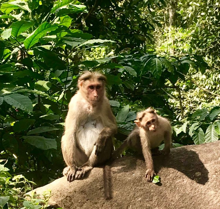 Kerala: monkeys