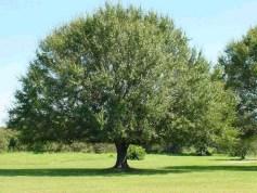 Mature Laurel Tree
