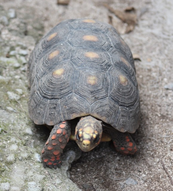 Another local - this gorgeous red food tortoise - indigenous to the island