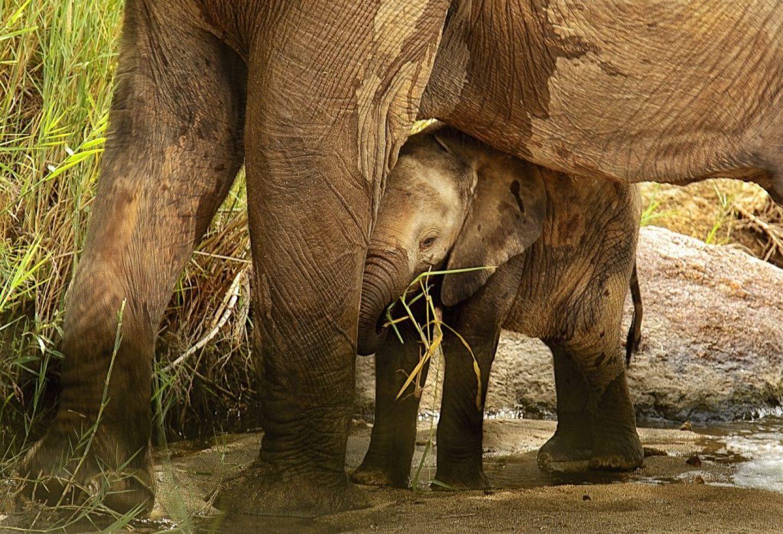 elephant-calf-2811487_1920