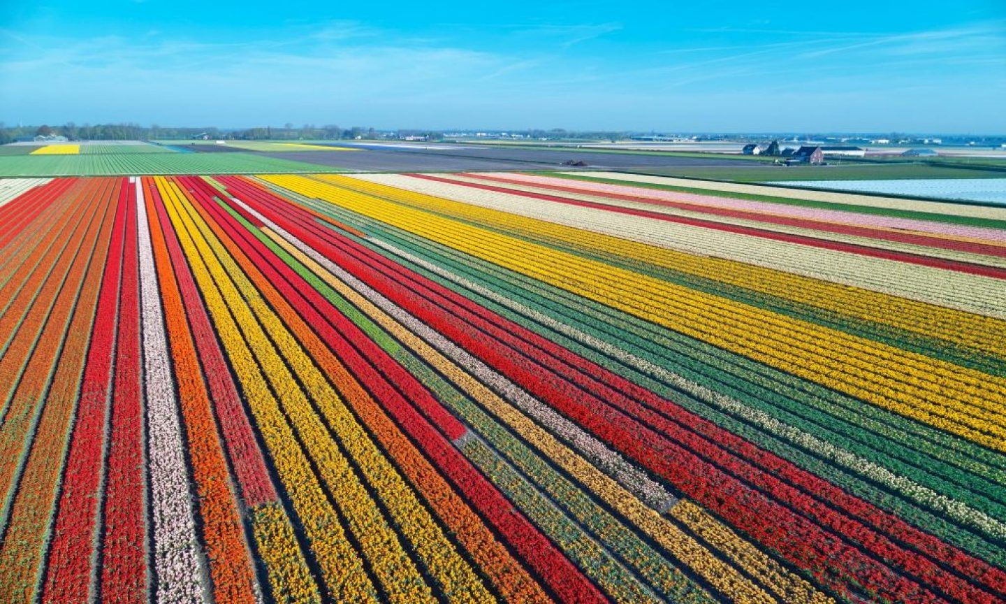Amsterdam Tulips: How To See These Majestic Blooms