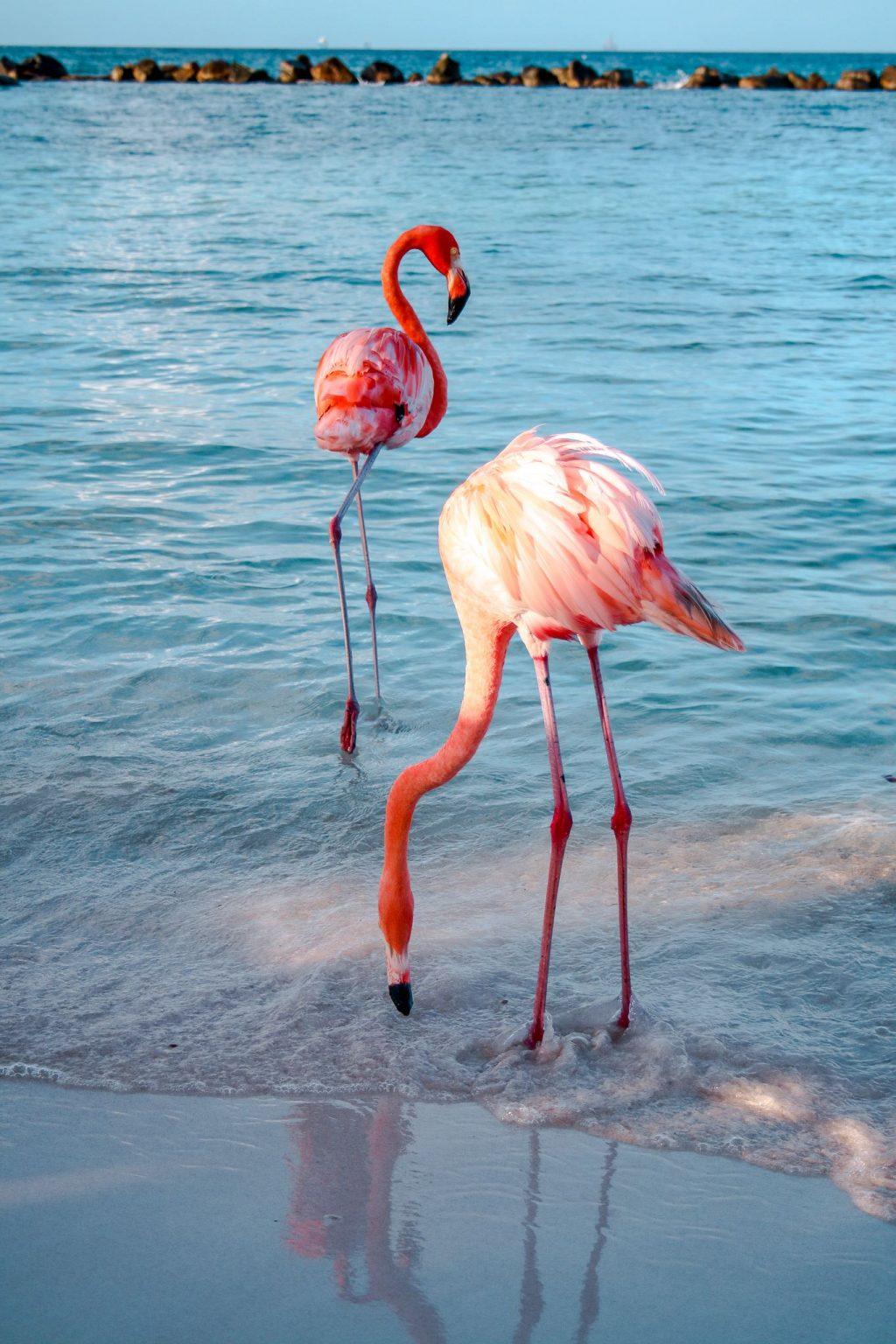 Flamingos at Flamingo Beach in Aruba