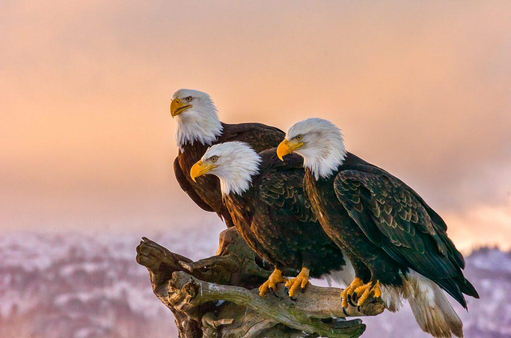 glacier bay cruise eagles