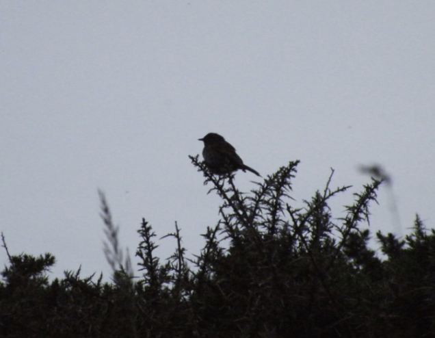 This Dunnock had just poured forth in song at 10:15 pm.