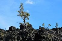 Trees grow in lava flow