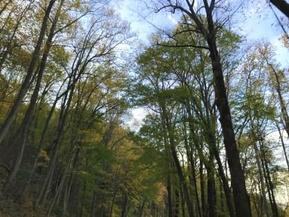 great-smoky-trees