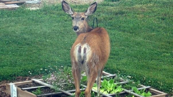 deer garden pest sprays