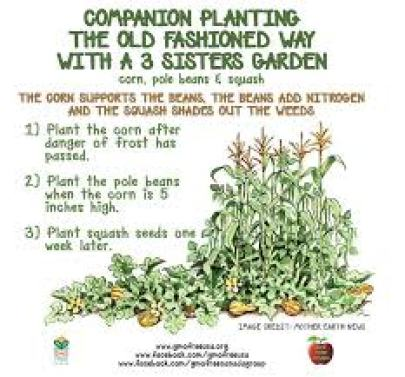 Companion planting 3 sisters garden