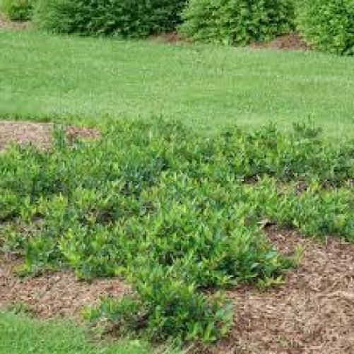 Aronia shade tolerant plants